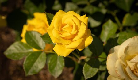 Image of beautiful blooming yellow roses in a rosary in Rome, Italy