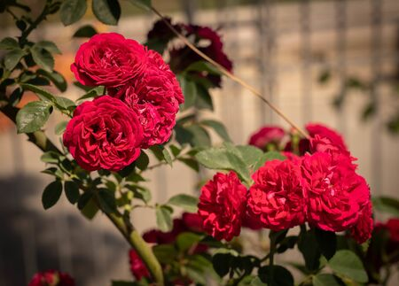 Image of beautiful blooming red roses in a rosary in Rome, Italy