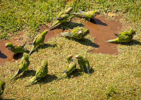 Image of green parrots swimming in a puddle and walking on green grass, Rome, Italy