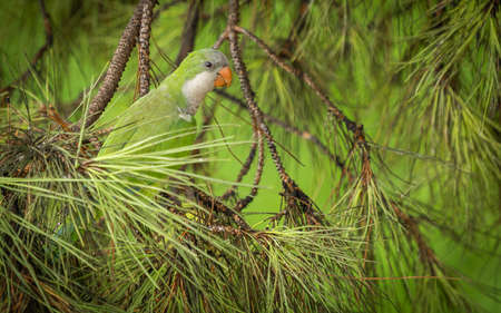 Green parrot of medium size on a coniferous branch of a roman pigna in Italy
