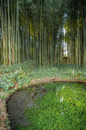 Image of bamboo grove on shore of small pond and reflection in water in gardens of Nymph in Italy