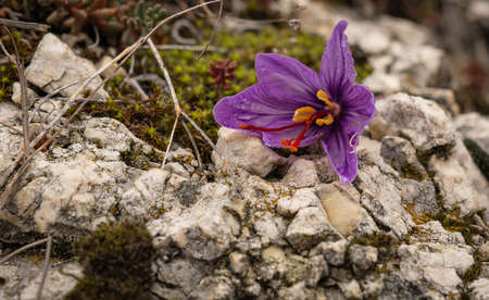 Saffron crocus flower after harvest in Navelli in Abruzzo, Italy
