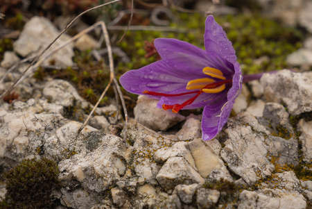 Saffron crocus flower after harvest in Navelli in Abruzzo, Italy
