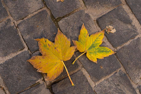 Image of yellow autumn maple leaves on gray paving stones