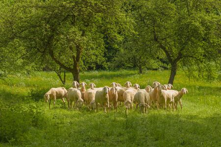 A shorn flock of sheep stands anxiously, close together in a meadow.