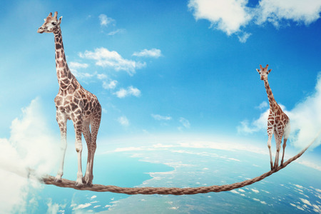 lead rope: Managing risk big business challenges uncertainty concept. Two giraffes walking on dangerous rope high in sky as symbol of balance overcoming fear for goal success. Young entrepreneur corporate world