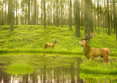 deer: Deer Bucks in summer velvet standing in an opening in the woods. Two deers with stag horns in forest with lake on background with green trees morning day light. Wild life landscape scene screen saver
