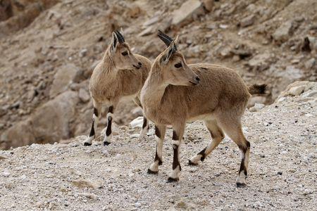 two beautiful wild goats Stock Photo - 6769648