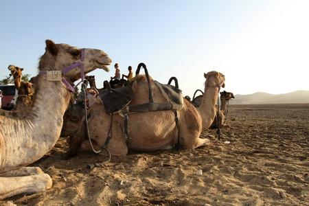 Camel (Dromedary) in the desert in israel Stock Photo - 9830673