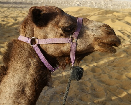Camel (Dromedary) in the desert in israel Stock Photo - 9830672