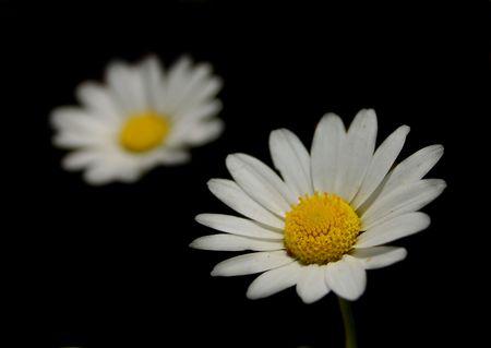 witte bloem over geïsoleerde zwarte achtergrond Stockfoto