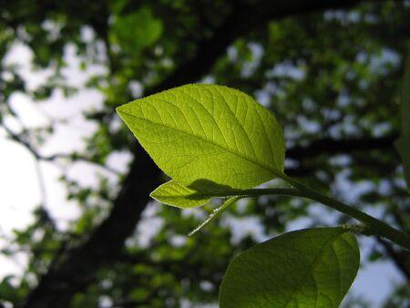 green leaf backlight