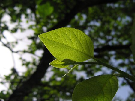 groene blad backlight  Stockfoto