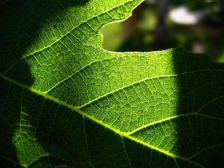 Spring Green Leaf backlite in detail Stockfoto