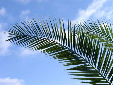 Palm boom blad