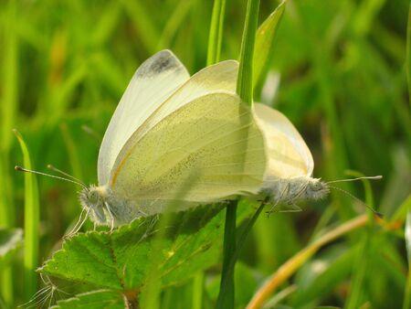witte paring vlinders