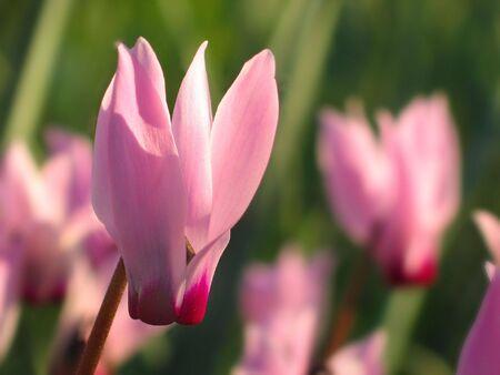 roze cyclamen