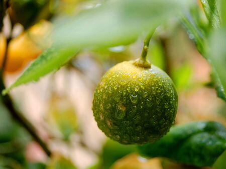 wet citrus fruit