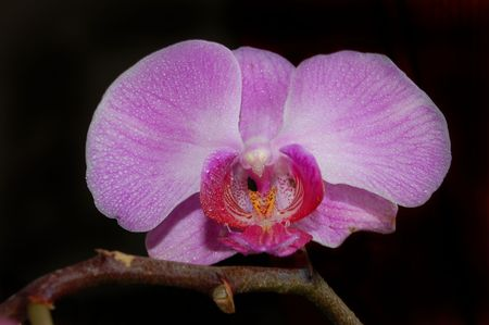 isolated pink orchid black background