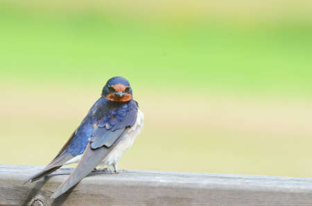 A barn swallow  Hirundo rustica  sitting on a plank  photo