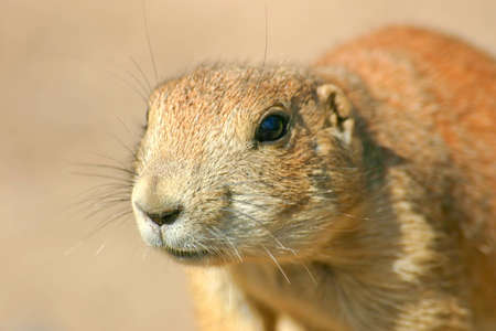 Close up frontal view of a prairie dog photo