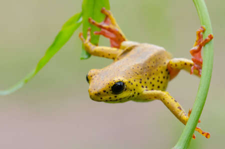 Close-up of a yellow frog with big black eyes hanging between two leaves photo