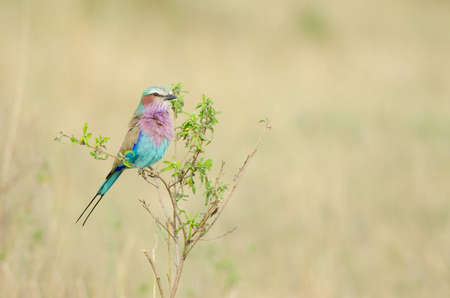 absent: The Lilac-breasted Roller (Coracias caudatus) is a member of the roller family of birds. It is widely distributed in sub-Saharan Africa and the southern Arabian Peninsula, preferring open woodland and savanna; it is largely absent from treeless places. Stock Photo