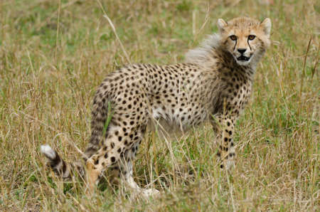 Cheetah Cub (Acinonyx jubatus) in the Masai Mara Game Reserve, Kenya, Africa photo