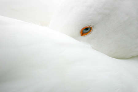 hygien: A white goose with incredible ice blue eyes resting with its beek tucked under its wing in Tuscany , Italy