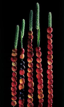bilberries: Strawberries and bilberries on bents