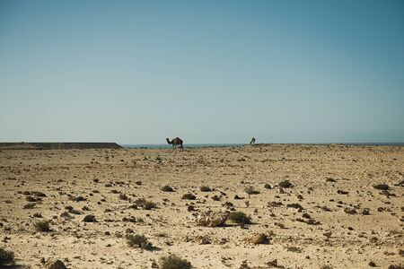 Camels are grazing on the Atlantic Ocean coast, Africa
