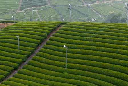 New tea plantations