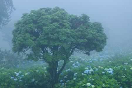 The thick hydrangea Imagens