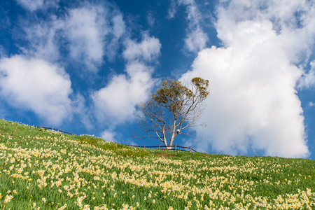 Beautiful clouds pastoral narcissus