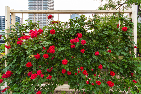 Rosas rojas en un floreciente jardín de rosas Foto de archivo