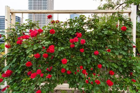 Rote Rosen in einem blühenden Rosengarten Standard-Bild