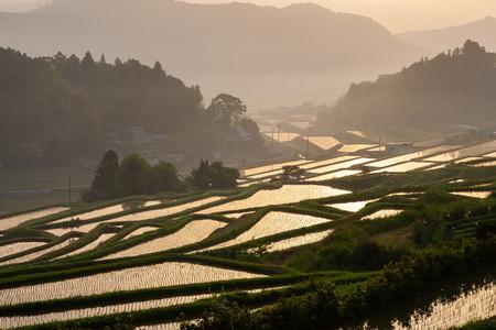 A golden rice field