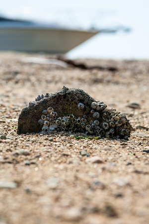 Barnacle stone falling on the beach Banque d'images