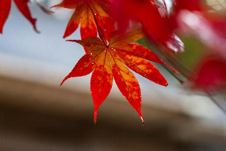 Autumn Emeishan, visiting the autumn leaves #8 写真素材