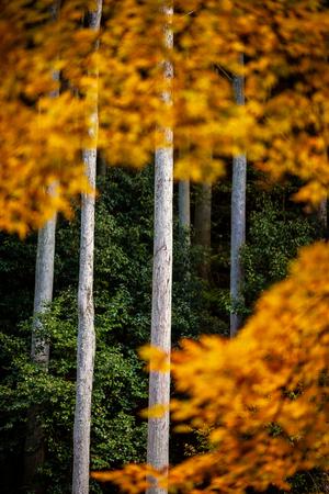 Autumn Emeishan, visiting the autumn leaves #19