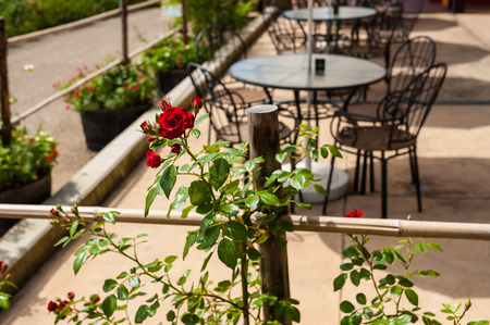 Rose blooming on the cafe terrace of the Garden Museum Hibi