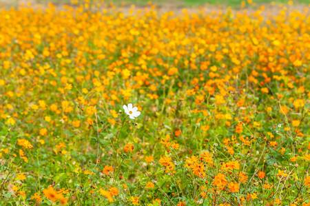 One cosmos flower blooming in poppy swarm