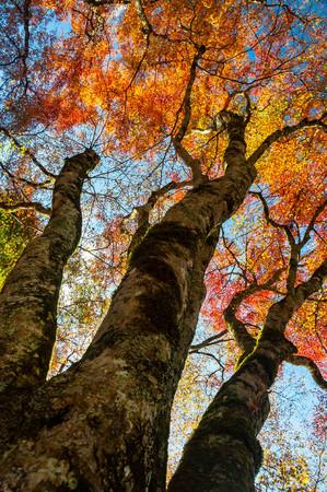 Three stems of autumn leaves