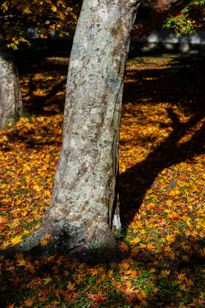 A tree surrounded by fallen leaves 写真素材