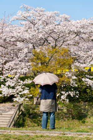 A person with a parasol looking at the beautiful cherry blossom trees Stock Photo