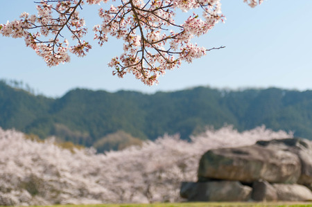 Megalithic structures and blooming cherry blossoms