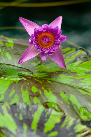Water lily flower blooming in grotesque Imagens
