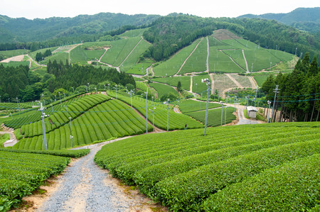 Tea field made on the slope of the mountain Reklamní fotografie