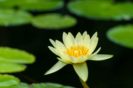 A brightly blooming yellow water lily flower Imagens