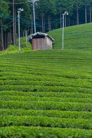 Unharvested tea plantation and old work hut